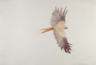 Red Kite Call 71x105cm watercolour